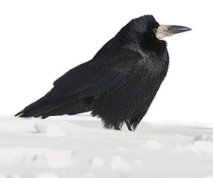 a rook in the snow
